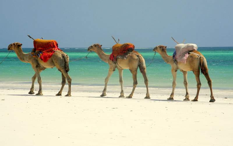 Camels caravan through Mombasa, Kenya