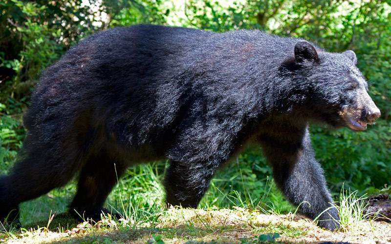 Alaska is home to many black bears