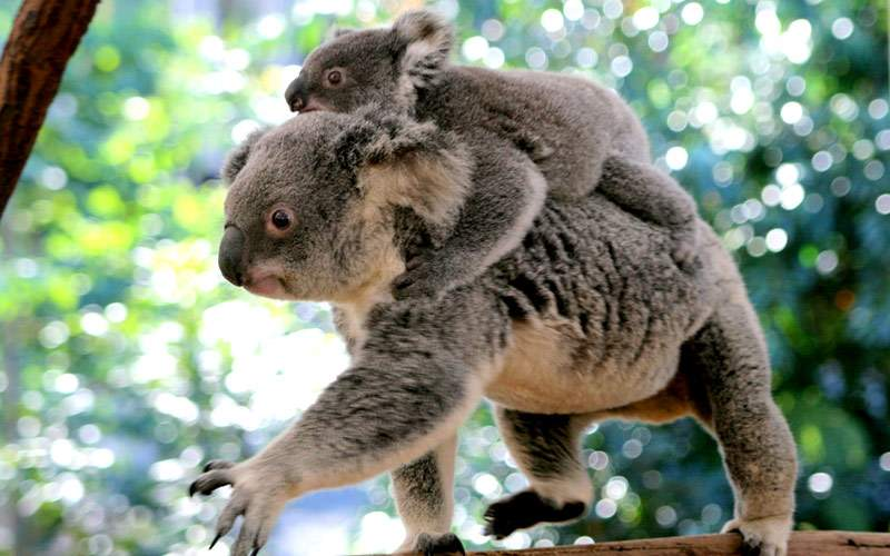 Koala in Lone Pine Sanctuary