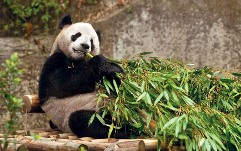 Panda bear in Chongqing, China