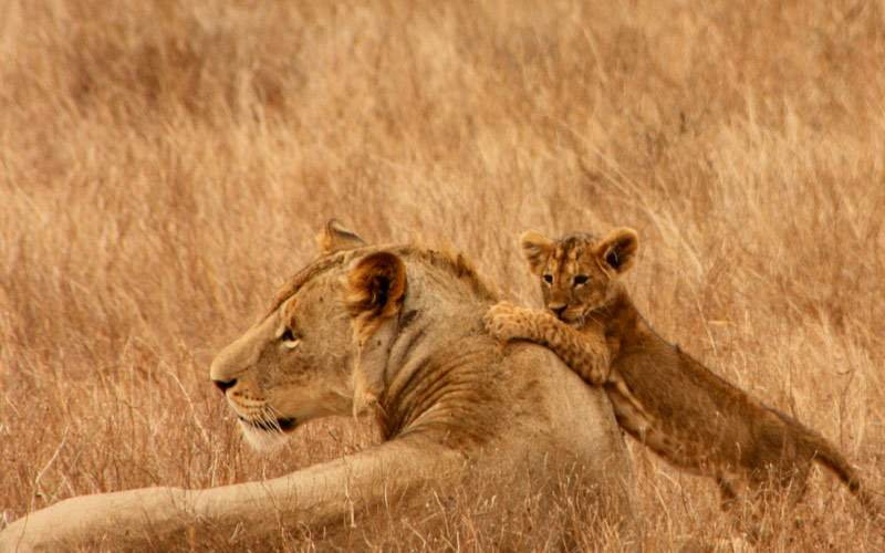 A lion and her cub in Africa
