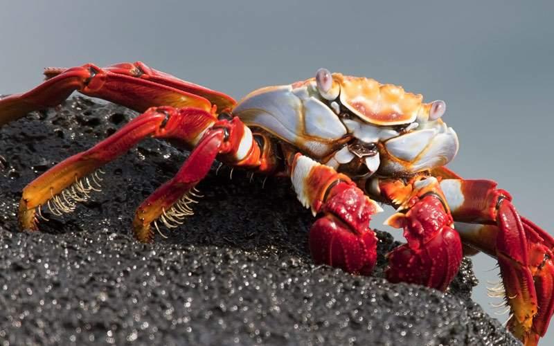 A Sally Lightfoot crab enjoys the Galapagos