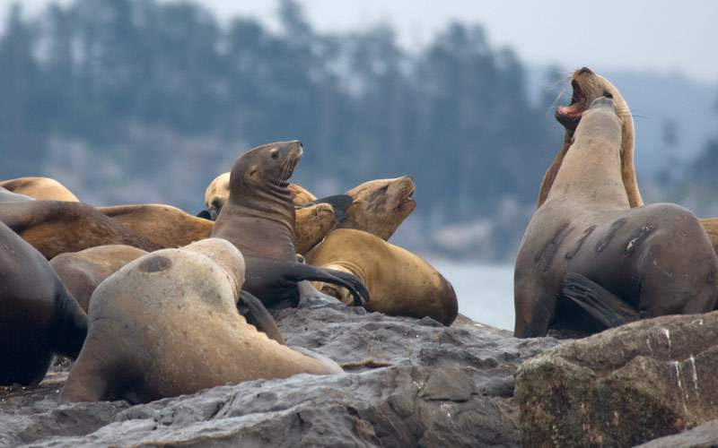 Sea Lions enjoy the day at Sitka Bay