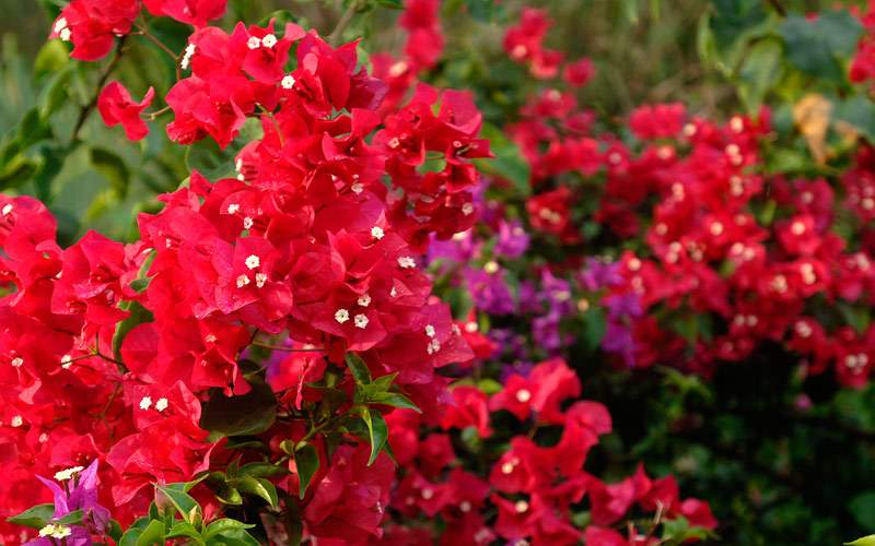 Bright red flowers around St. Thomas