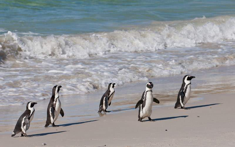 African penguins take a walk on the beach