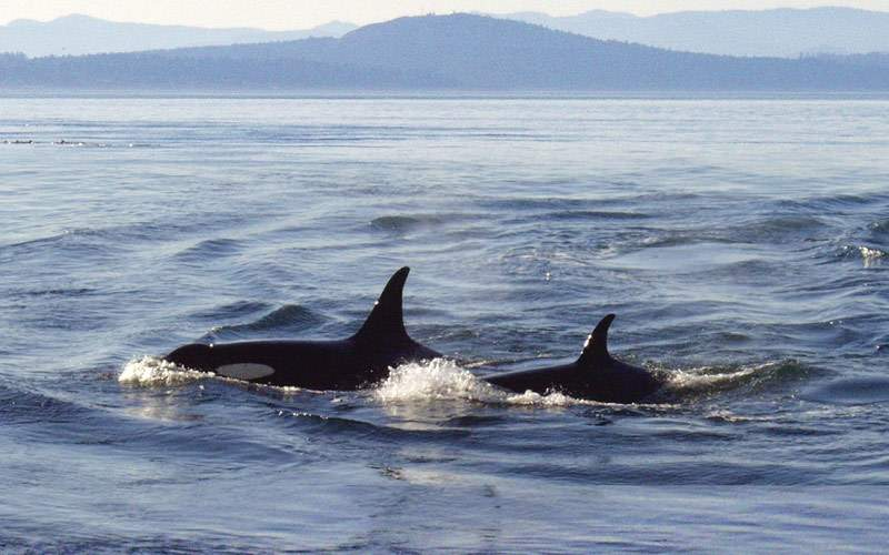 Killer whales off the Pacific coast
