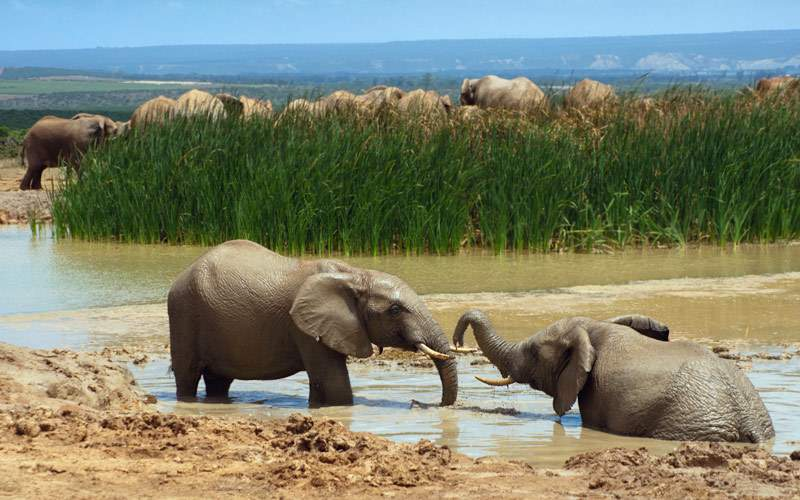 Elephants bathing in South Africa