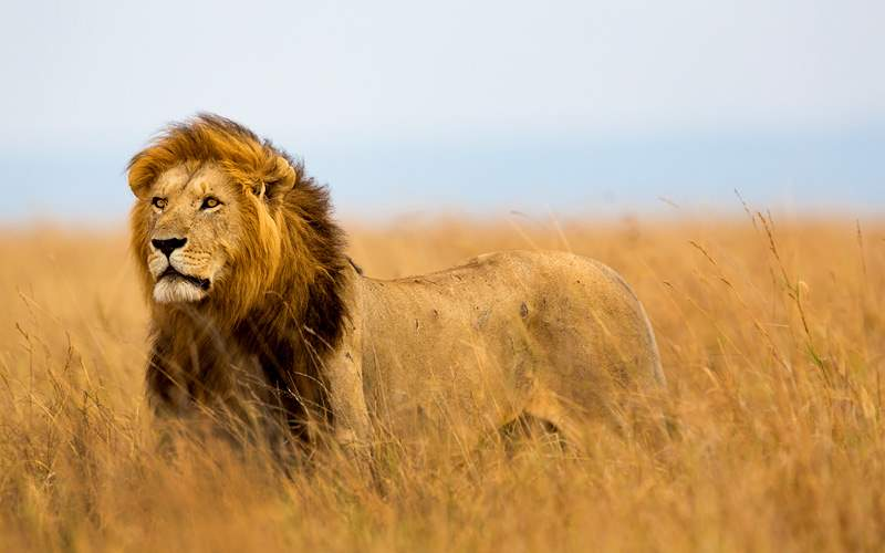 Lion watching the lionesses in Kenya, Africa