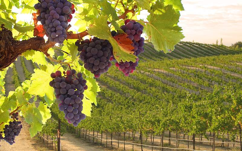 Morning view of the Australian Vineyards at sunris