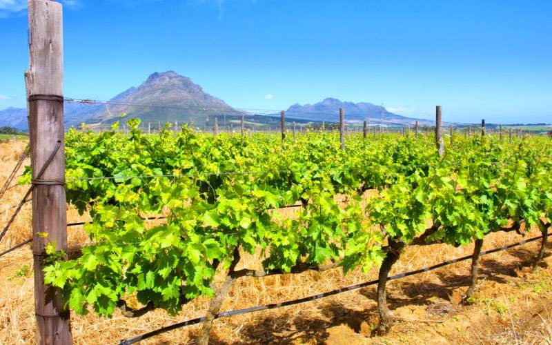 Vineyards of Western Cape South Africa MSC Cruises