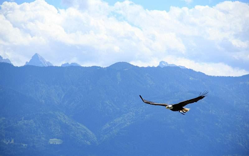 Bald eagle soars over Alaska