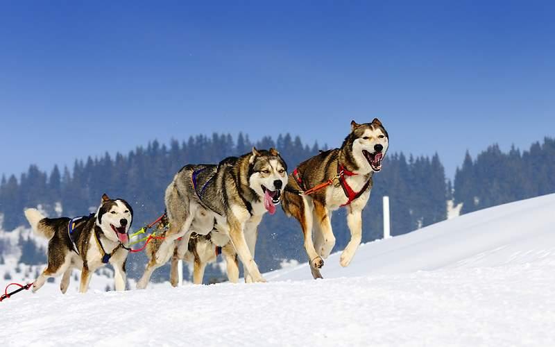 Alaska Dog Sled Excrusion Nowegian Cruise Line