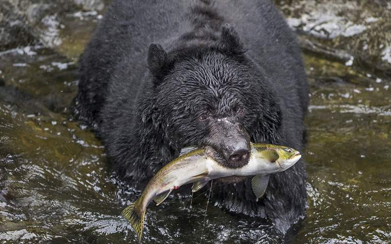 black bear catching salmon Wrangell Alaska Oceania