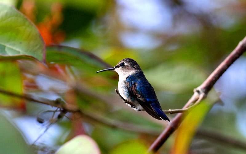 Hummingbird in Cuba