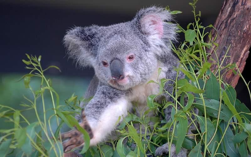 Koala & Eucalyptus Sydney Australia Oceania Cruise