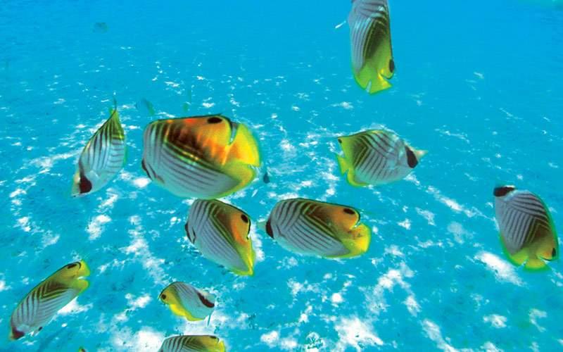 Fish snorkeling excursion Paul Gauguin Tahiti
