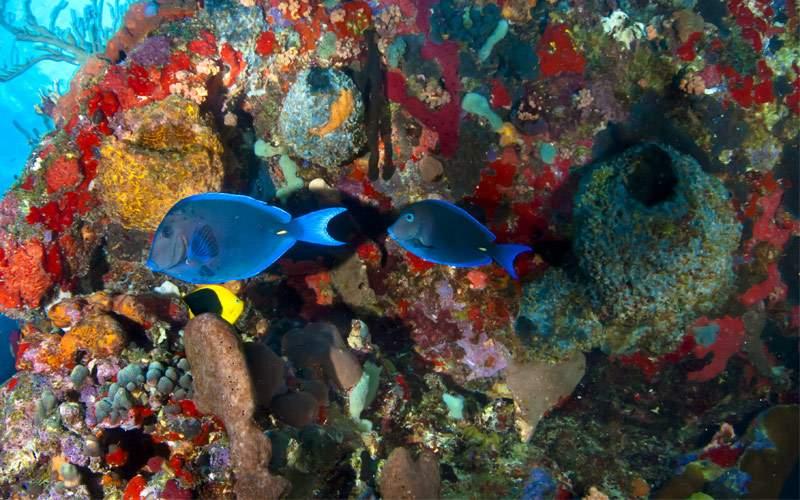 Blue tang fish & reef Paul Gauguin Transatlantic