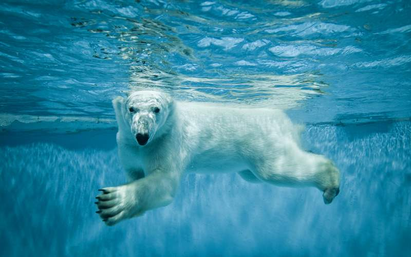 Polar Bear swimming under water in the Arctic