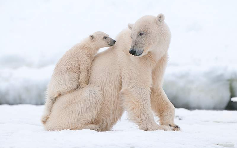 Polar Bear with cub in the Arctic