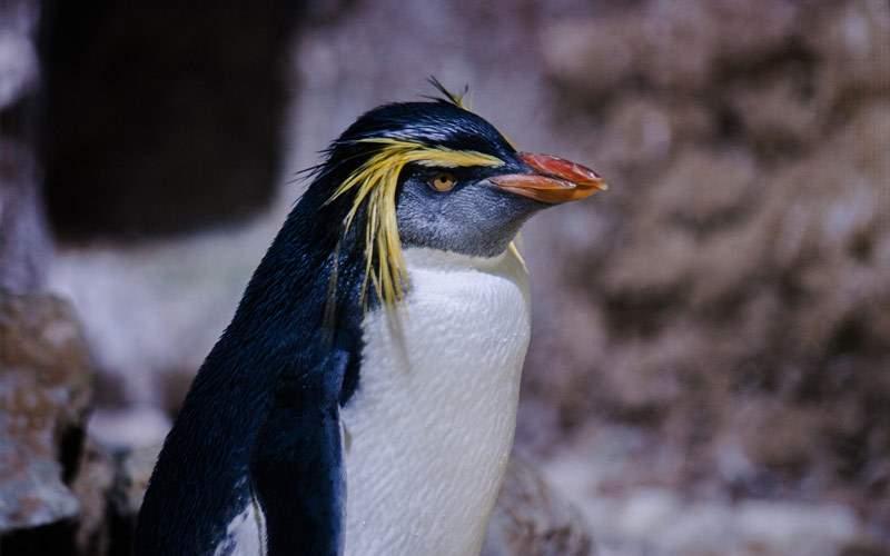 See Rockhopper penguins dive for food