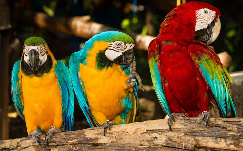 Local Macaw birds Princess Panama Canal Cruise