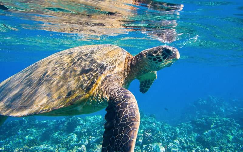 Green sea turtle Princess Cruises Hawaii