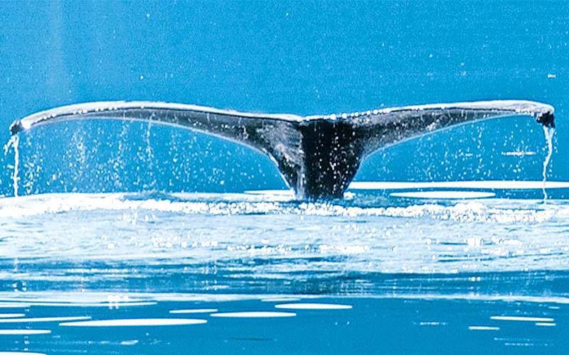 Princess Cruises Humpback Whale Alaska