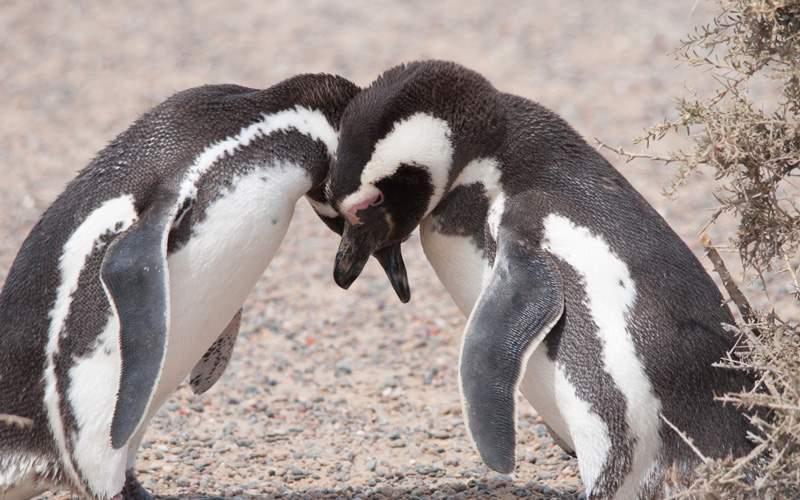Magellanic penguins in Chile
