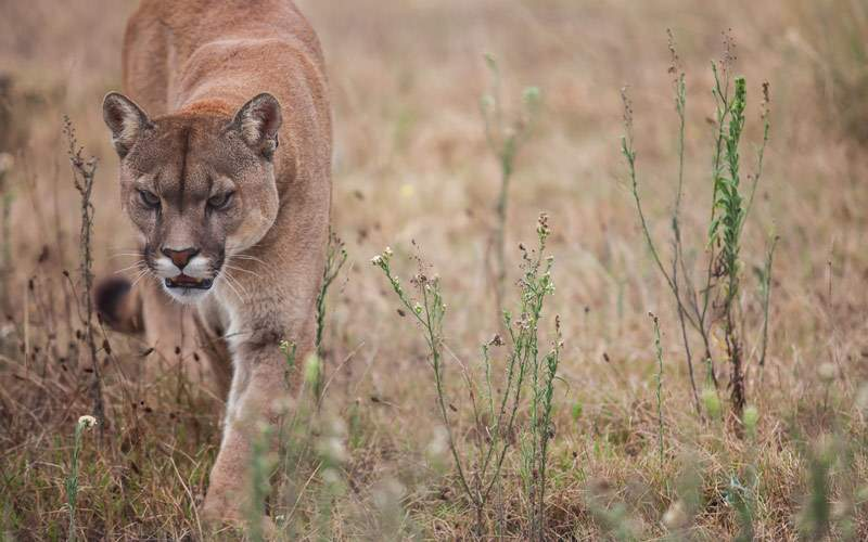 Puma searching for prey Africa Princess Cruises