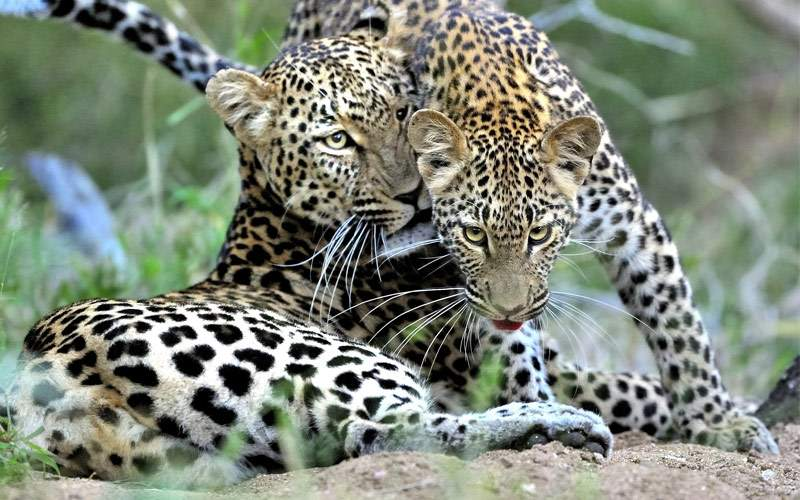 Mother and cub leopard Regent Seven Seas Africa