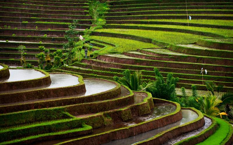 Rice Terraces of Belimbing Bali Indonesia