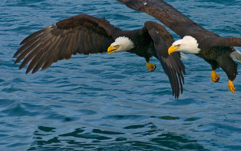 Bald eagles hunting for fish