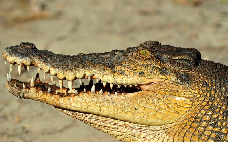 Royal Caribbean Australia Cruisetour, Crocodile