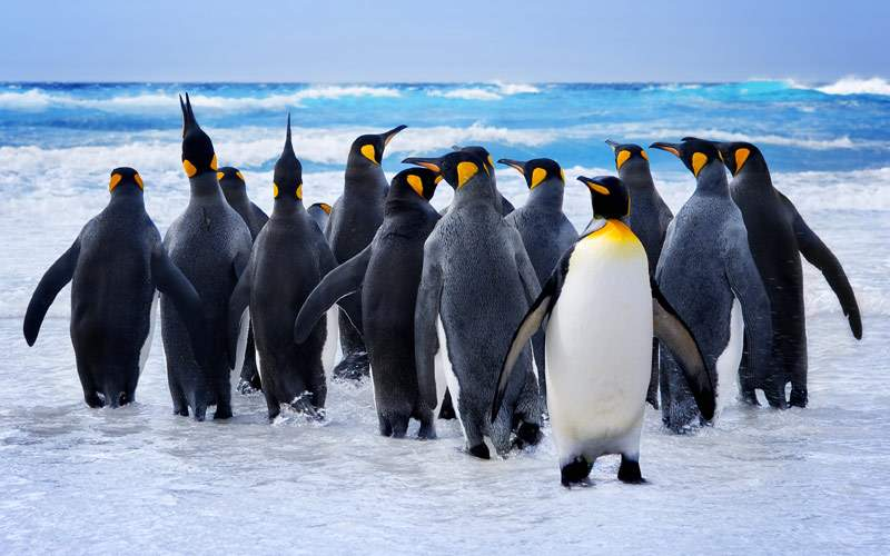 King Penguins Falkland Islands Antarctica Seabourn