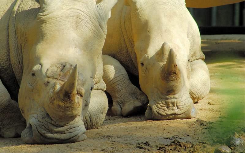 Rhinoceros lying in the sun Seabourn Asia