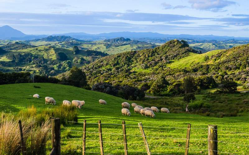 Sheep grazing New Zealand Seabourn South Pacific