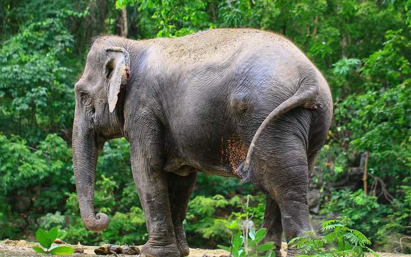 Thai elephant Seabourn Africa Cruise