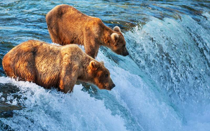 Alaskan Native Brown Bears Silversea Cruise Alaska