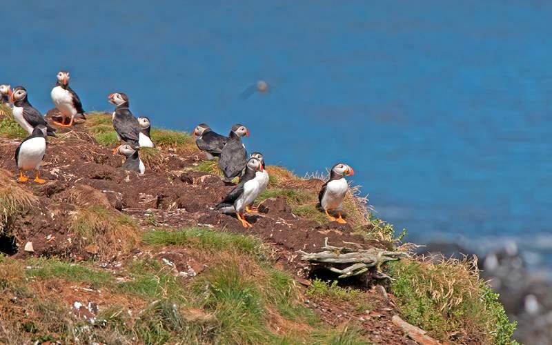 Puffin on a Nest Island Silversea Transatlantic