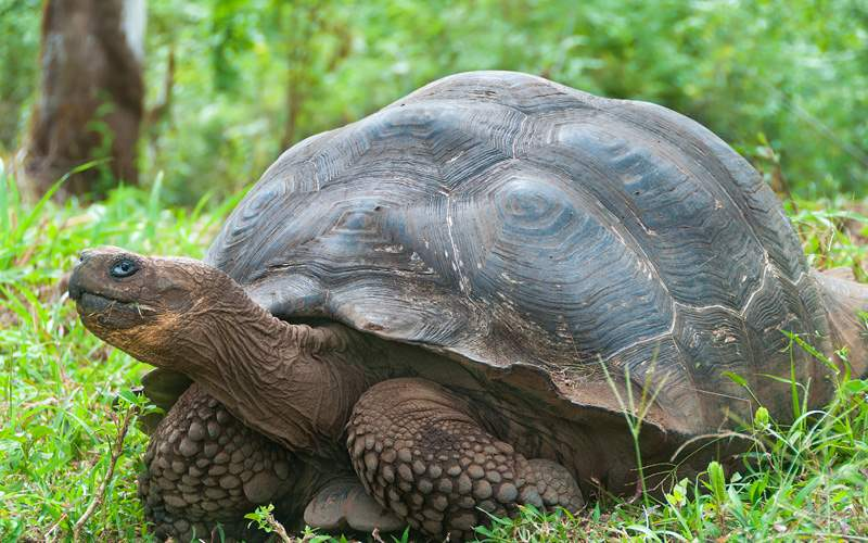 Silversea Galapagos Cruises Giant Tortoise