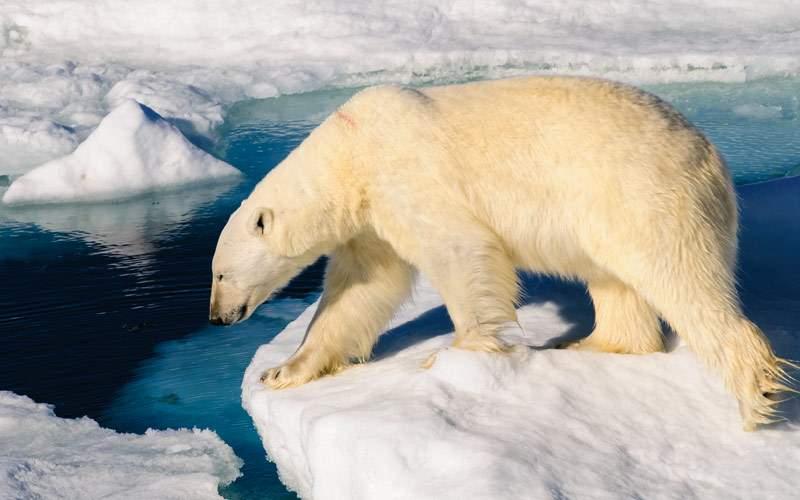 Polar bear in Svalbard, Norway Silversea Arctic