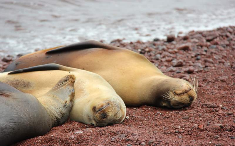 Silversea Galapagos Cruises Sea Lions