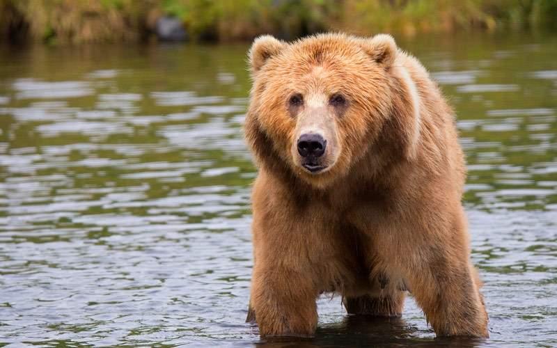 See brown bears in Alaska