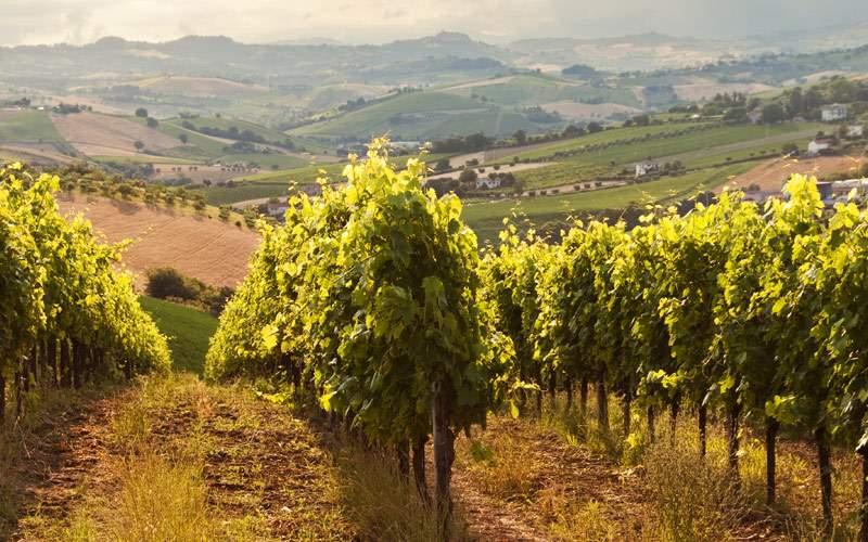 Vineyard in Tuscany Silversea Mediterranean Cruise