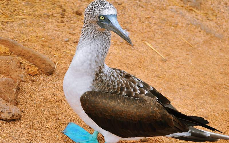 Silversea Galapagos Cruises Blue Footed Booby