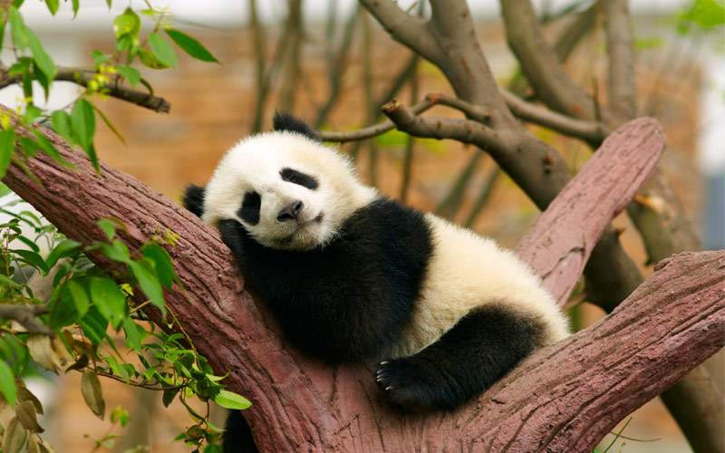 Sleeping giant panda baby China