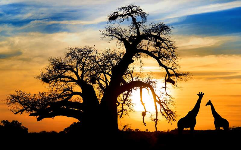 Sunset with Baobab and Giraffe on African Savannah