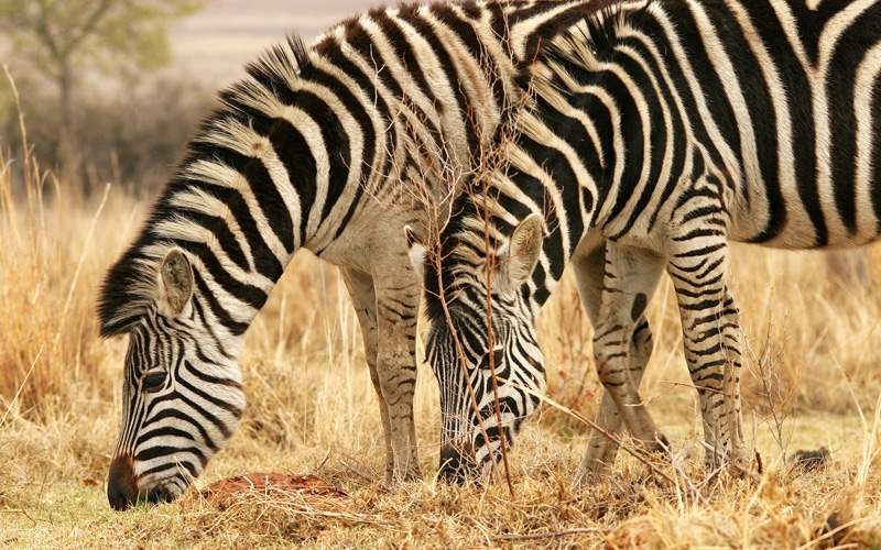 See wildlife like zebras