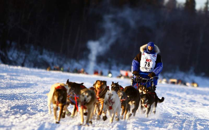 Iditarod Dog Sled Racing in Alaska