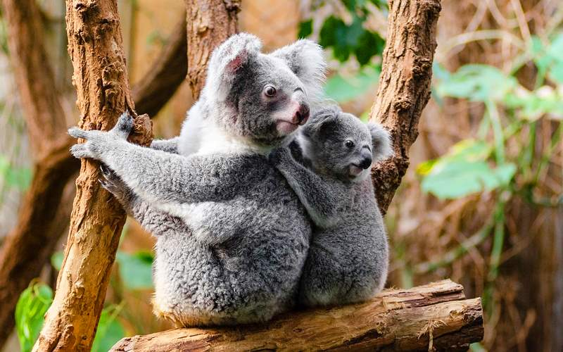 Koalas in Melbourne, Australia